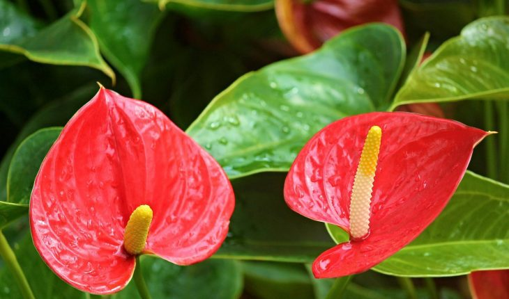 anthurium-flamingo-flower-2507743_1920